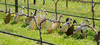 How ducks are being used to keep your favourite wines 'organic'